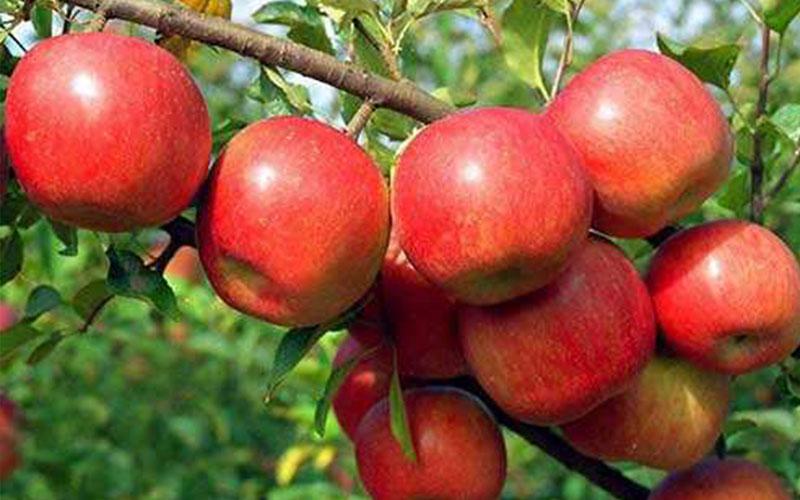 平凉苹果红富士12斤24个85号苹果